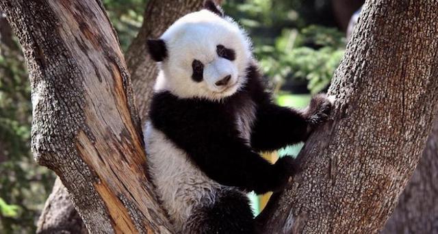 panda helenitaz